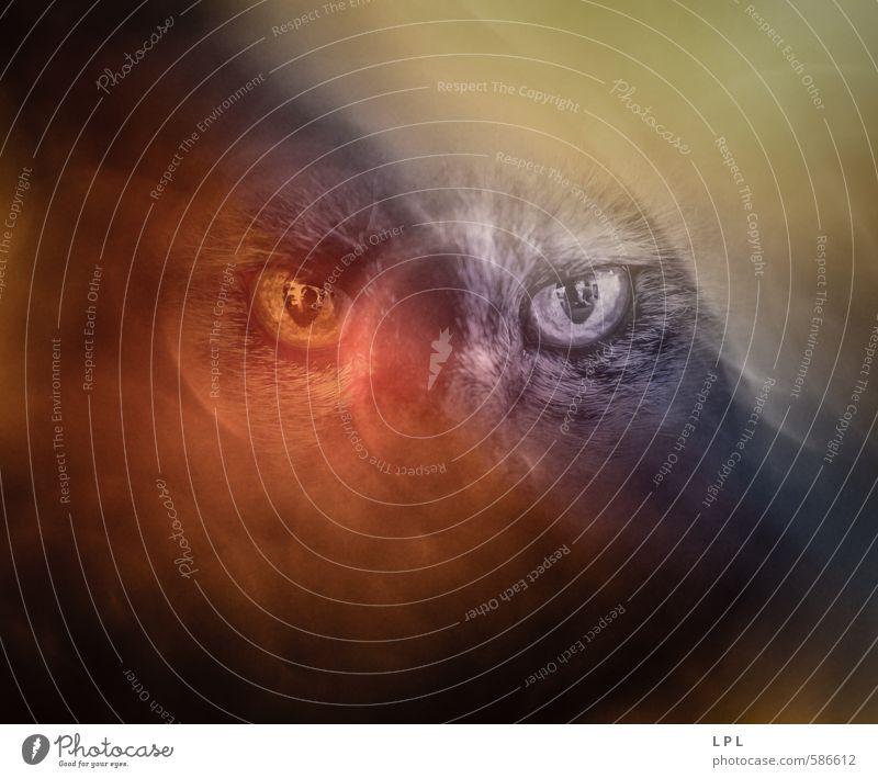 Katze im Lichtnebel Katze blau Tier dunkel gelb Auge Traurigkeit Auge Stimmung Nebel wild gefährlich bedrohlich Haustier Aggression Angriff