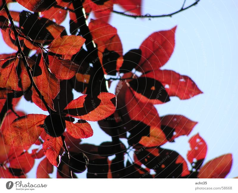 Sommerlaub Blatt Baum rot Herbst Himmel Ast Zweig Sonne Wärme