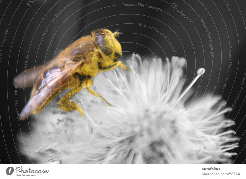 Abgeräumt Biene Blüte Makroaufnahme Schwarzweißfoto