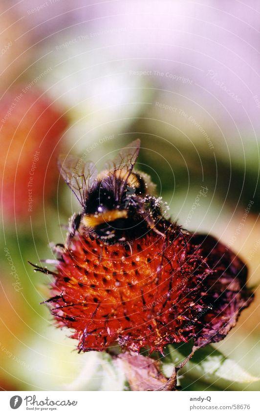 Hummel Summ Summ Biene Insekt Blüte Blume Frühling Sommer Wiese Blumenwiese Staubfäden Honig Tier mehrfarbig Fröhlichkeit rot schwarz gelb Summen süß Flügel