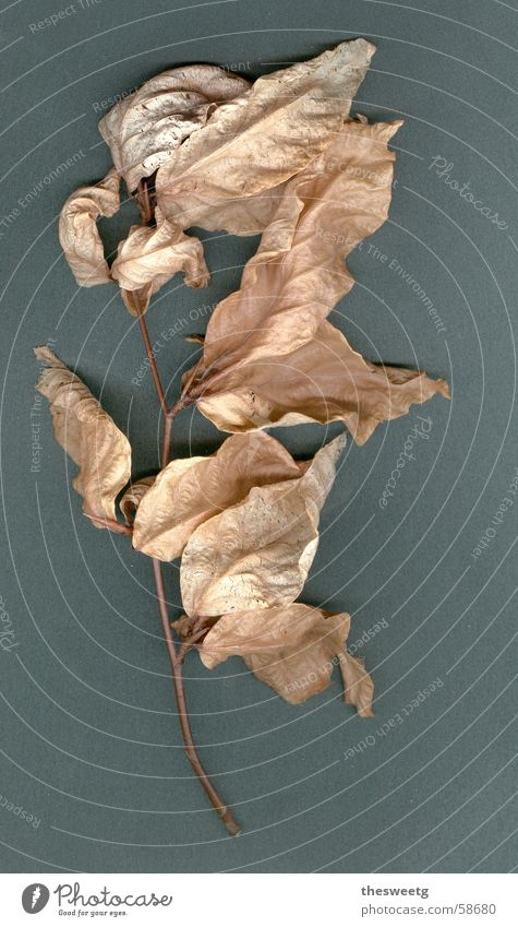 Laub Blatt Herbst Tod dünn Falte trocken getrocknet karg Laubbaum regenarm herbstlich eingetrocknet durstig verdorrt verdursten