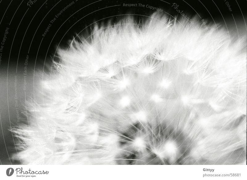 Pusteblume Blume Wiese Löwenzahn