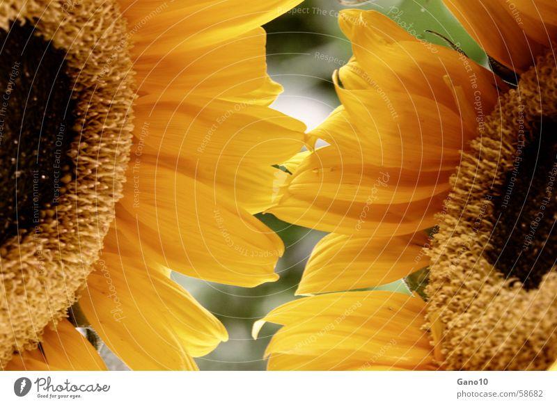 Sunnyside Sonnenblume gelb Sommer Blütenblatt sun