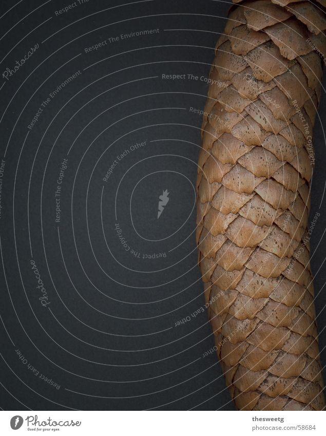 Zapfenstreich Tanne Samen Scheune Fichte Waldboden Nadelbaum Tannenzapfen