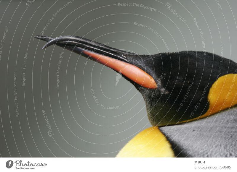 Krummschnabel schwarz Tier grau Schnabel Pinguin Königspinguine