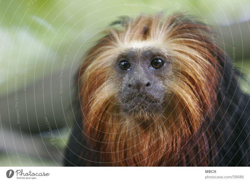 Löwenäffchen schwarz Auge Tier gelb klein gold Nase Affen Schnauze Mähne