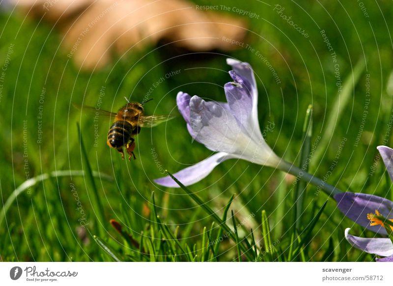 Arbeitsweg Biene Wespen Hummel Insekt Blüte Gras weiß violett grün Frühling Schweben Luft Luftaufnahme Ferne Sommer Sonne Arbeit & Erwerbstätigkeit Pollen