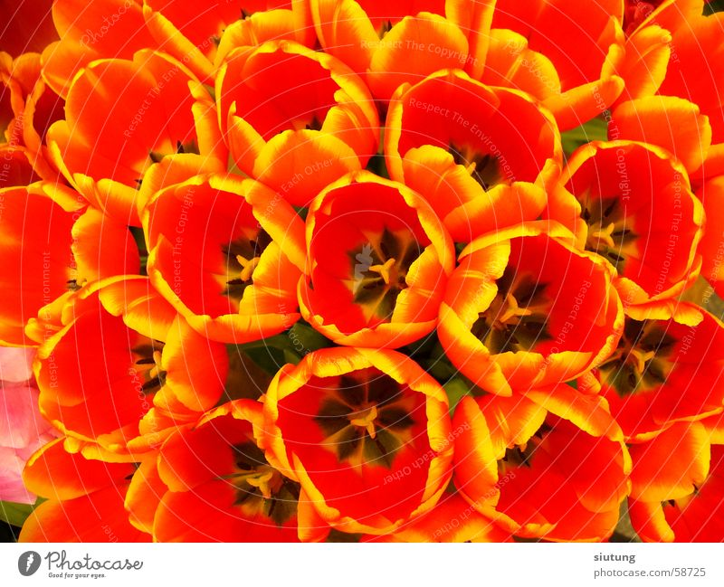 Tulips Natur Blume Farbe Tulpe Keukenhof