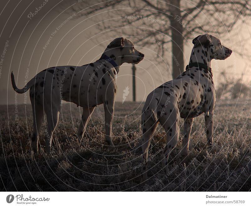 Abendstimmung Winter Tier kalt Hund Stimmung Dalmatiner