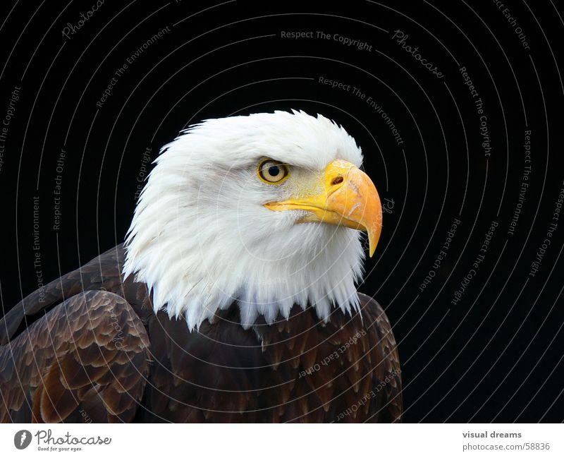 Weißkopfseeadler Adler Vogel Natur Weisskopfseeadler Wappentier Tierporträt Tiergesicht Vor dunklem Hintergrund Freisteller Schnabel Vogelauge