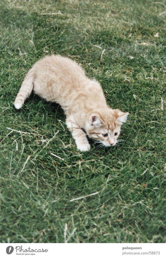 klein Spencl grün rot Wiese Spielen Katze orange klein Rasen Jagd Hauskatze