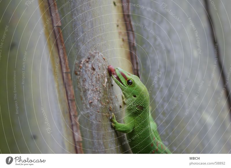 Lecker grün rot vertikal Zunge kleben lutschen Echsen Reptil Gecko Madagaskar
