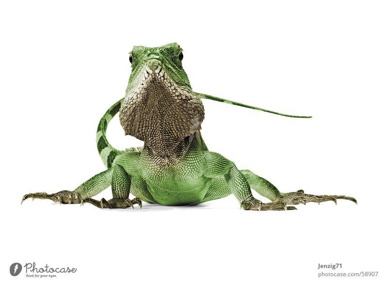 Poser 2 Echsen Agamen Wasseragame Reptil Leguane Echte Eidechsen waterdragon