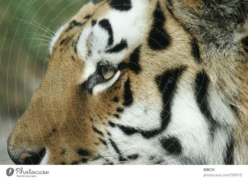 Tigerauge Tier Katze Raubkatze schwarz weiß nah Fell Muster Streifen orange Nase Auge