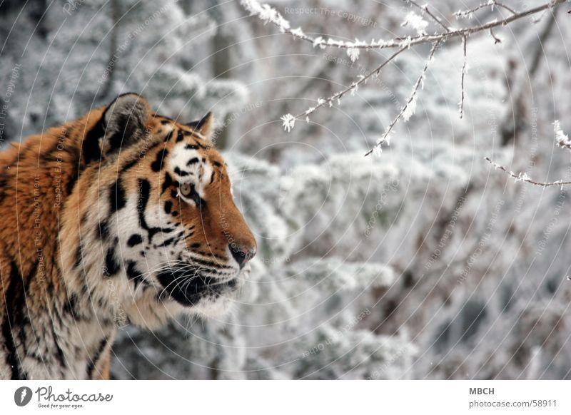 Beobachter Tiger Tier Katze Raubkatze schwarz weiß Fell Muster Streifen orange beobachten Blick Ohr Auge Nase Schnee Wildtier