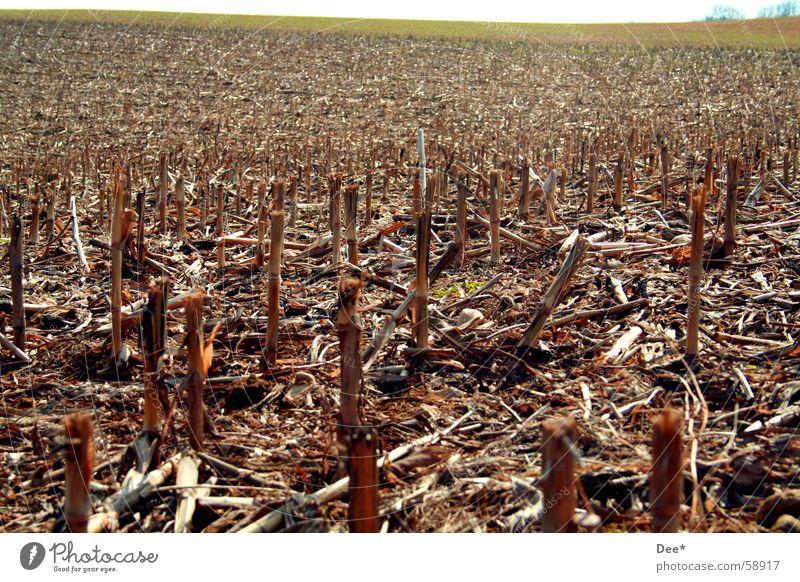 Das Maisfeld vom letzten Jahr Himmel Baum Ferne Tod Wiese Horizont braun Feld mehrere Hoffnung Trauer viele Getreide Fußweg kämpfen mögen