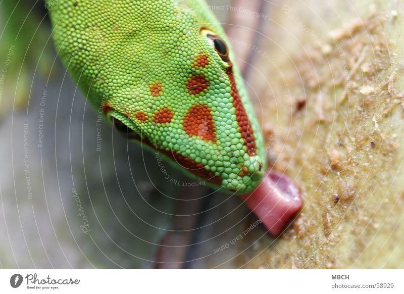 Auch Lecker grün rot Tier Nase nah Punkt Zunge Schnauze lutschen Afrika Gecko Madagaskar
