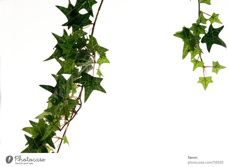 Adam und Efeu grün Pflanze Leuchtkasten Grünpflanze Kletterpflanzen Blatt Natur flower flowers