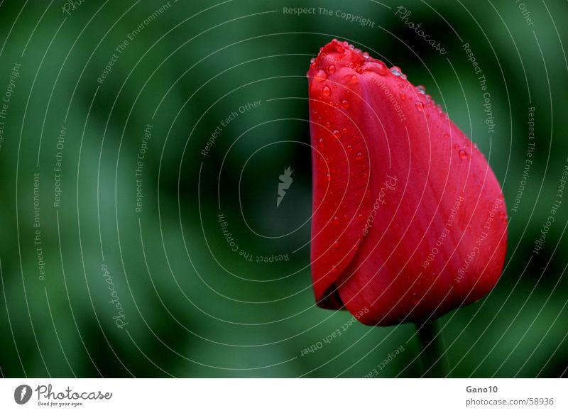 Tulpentropfen Blume rot springen Blüte Frühling Wassertropfen Tulpe