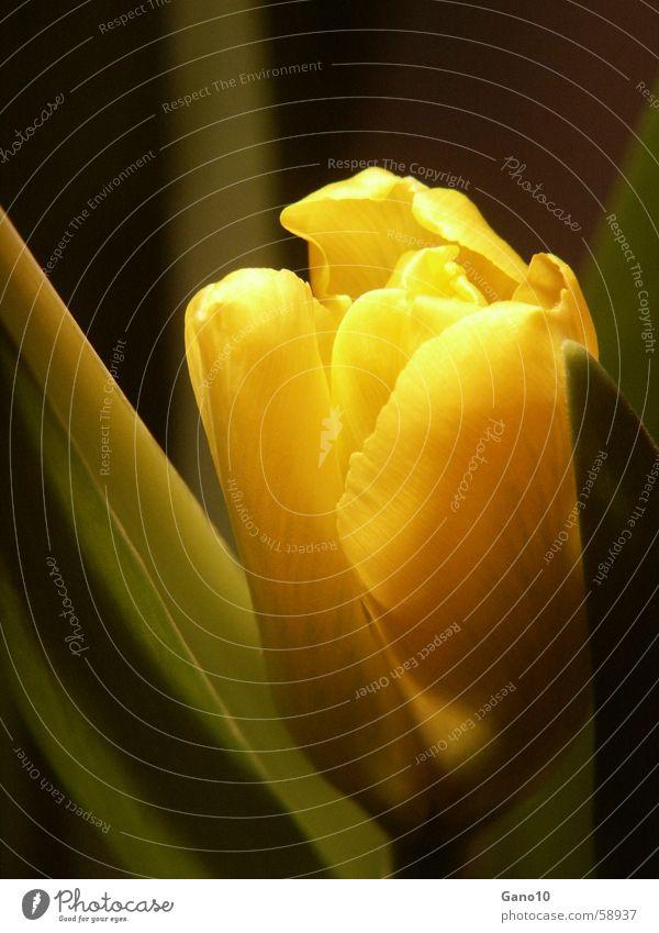 Schüchtern Tulpe gelb Frühling springen Blume Blüte Schüchternheit flower shy verstecken
