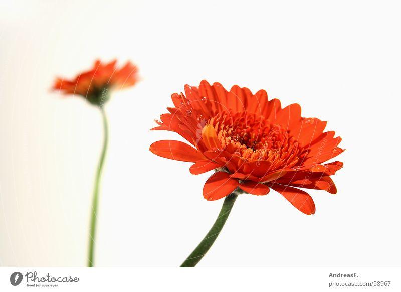 Gerberas Tiefenschärfe Blume Blüte Unschärfe Blumenstrauß Sonnenblume Sommer Frühling rot gelb Blumenhändler Blütenstiel tabletop blütenlätter Makroaufnahme