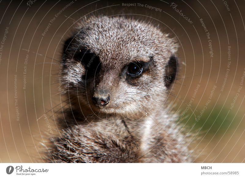 Wat? Wer bist du den? Tier Erdmännchen Fell grau klein nah Auge Blick