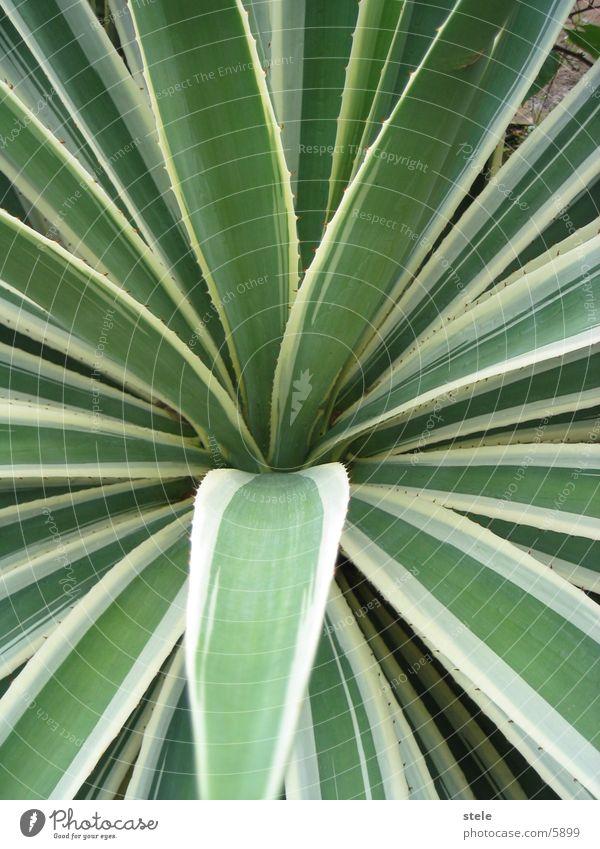Kaktus - Agave Pflanze Kaktus Agave