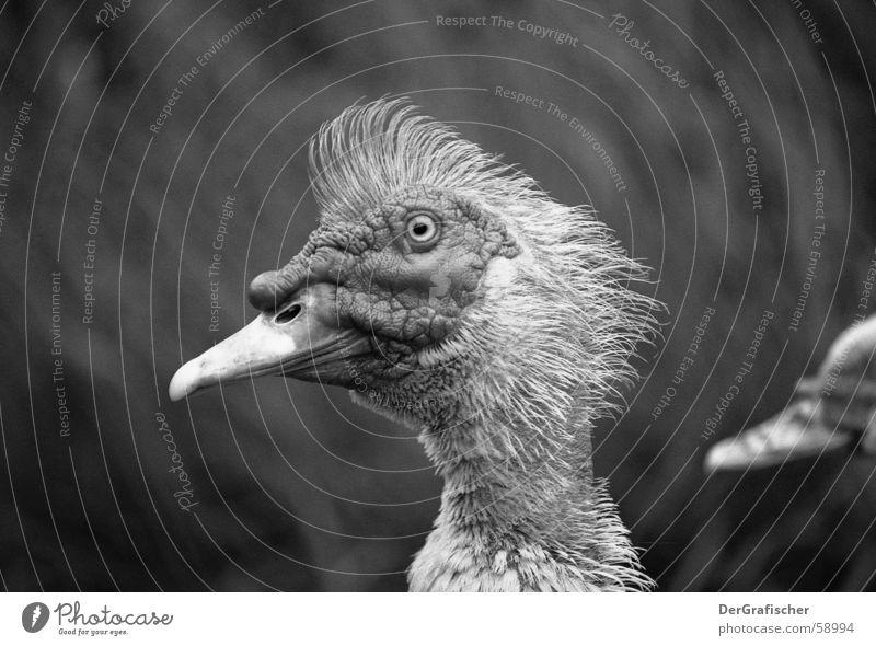 Komischer Vogel Auge Haare & Frisuren Zufriedenheit Wildtier Haut Nase Feder Falte dünn Mut dumm Gesichtsausdruck Punk Hals Schnabel