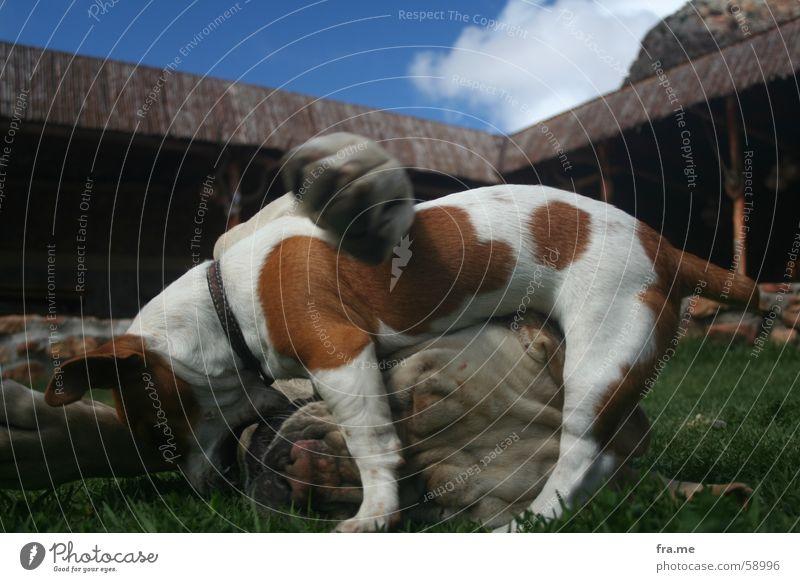doggi dog Liebe Wolken Wiese Hund Afrika Hütte Fressen Umarmen beißen Kuscheln scheckig Zerreißen Südafrika Zärtlichkeiten Dogge Mischling