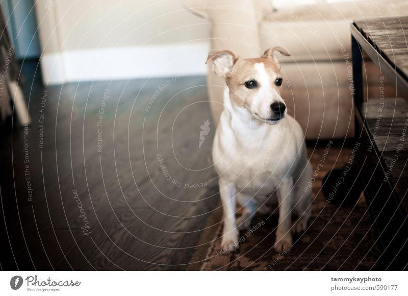 Weißer Jack Russell Terrier Hund Sofa Wohnzimmer Tier Haustier 1 sitzen stark weich weiß selbstbewußt gehorsam Freundschaft Treue Jack-Russell-Terrier Begleiter