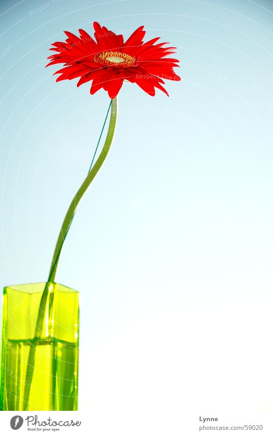 Gerbera rot grün Vase Frühling Sehnsucht Blatt Blume blau Himmel mehrfarbig Stengel