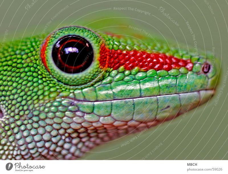 Kleiner mal ganz gross grün rot Tier Auge Kopf braun nah Tiergesicht Schnauze Pupille Gecko