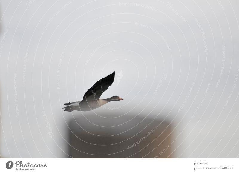 Ganz knapp Tier hell fliegen Wildtier Geschwindigkeit rennen Gans füttern