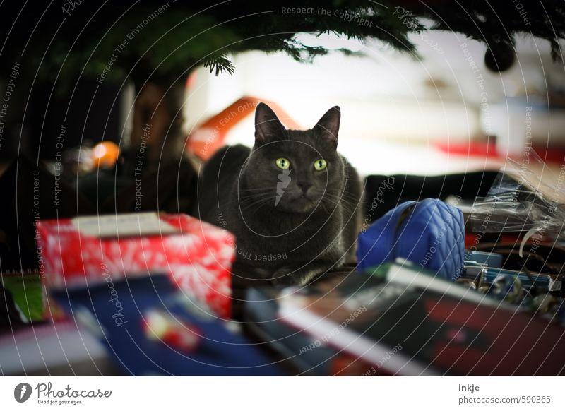 es weihnachtet Häusliches Leben Feste & Feiern Weihnachten & Advent Haustier Katze 1 Tier Dekoration & Verzierung Geschenk Weihnachtsgeschenk hocken unten