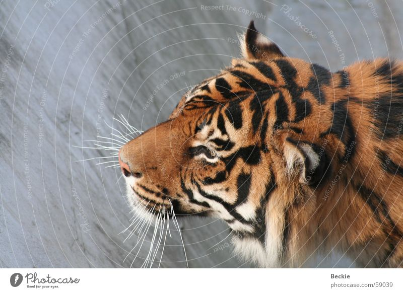 Tiger Landraubtier Wildtier wildness Nahaufnahme