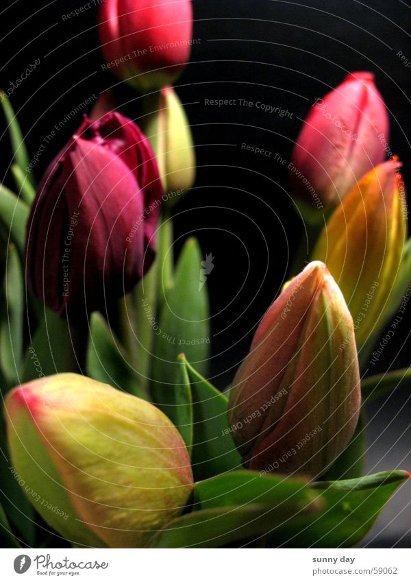 Tulpen Blume Blüte Niederlande Pflanze