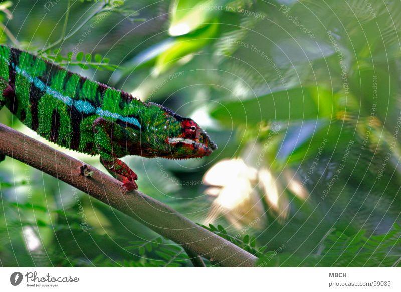 Auf der Jagd weiß grün blau rot Blatt schwarz Tier gehen Klettern Streifen Wildtier Afrika Zacken Leopard Färbung Madagaskar