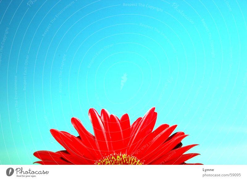 Gerbera 2 Himmel Blume blau rot Sommer Frühling Schönes Wetter