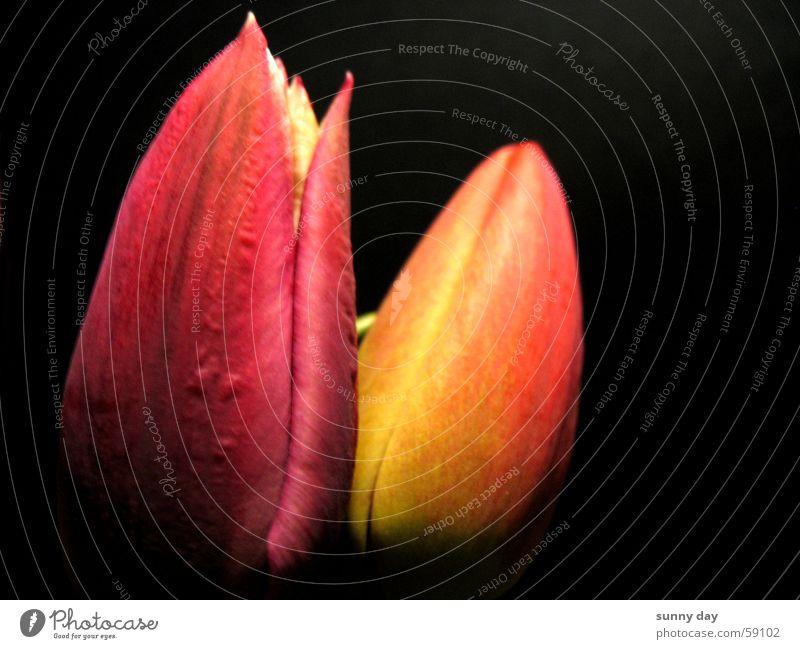 Zwei Tulpen Blume Pflanze rot gelb Blüte Niederlande