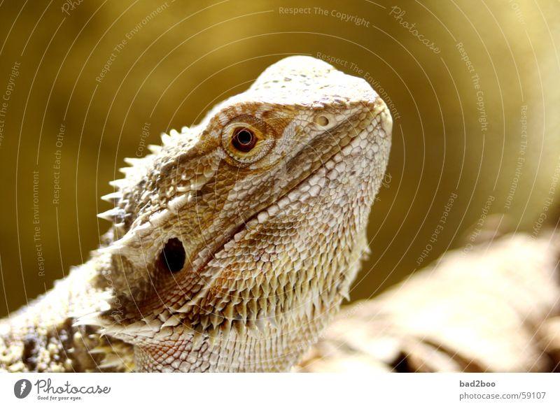 Bartagame Auge Tier Reptil Stachel Echsen gepanzert Agamen Bart-Agame