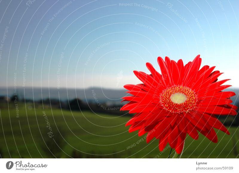 Gerbera 3 rot grün Wiese Frühling Blume blau Himmel Landschaft Natur