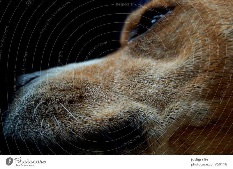 Fauler Hund weiß Tier schwarz Auge Farbe dunkel Haare & Frisuren braun Nase weich Fell Falte Müdigkeit Bart Säugetier