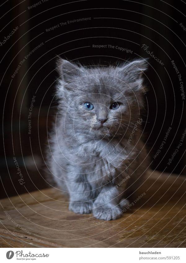 Cat Natur Tier Katze kuschlig klein schön blau braun grau schwarz Farbfoto Innenaufnahme Menschenleer
