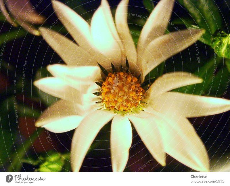 Blümchen weiß Blume unschuldig