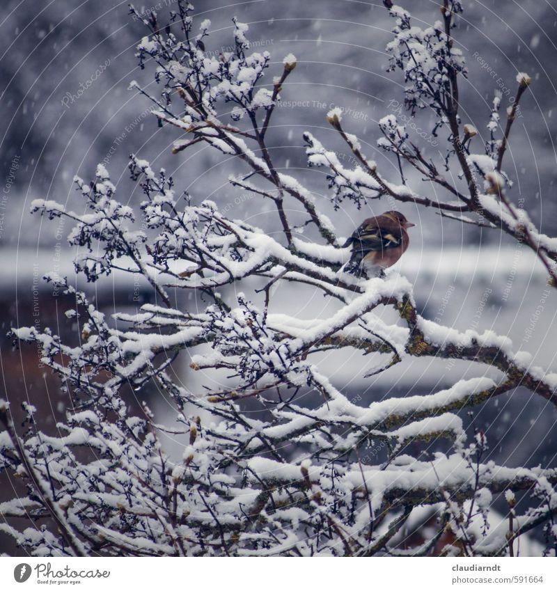 Schneefink Umwelt Natur Pflanze Tier Winter Eis Frost Schneefall Baum Sträucher Vogel Buchfink 1 frieren warten kalt Zweige u. Äste sitzen Farbfoto