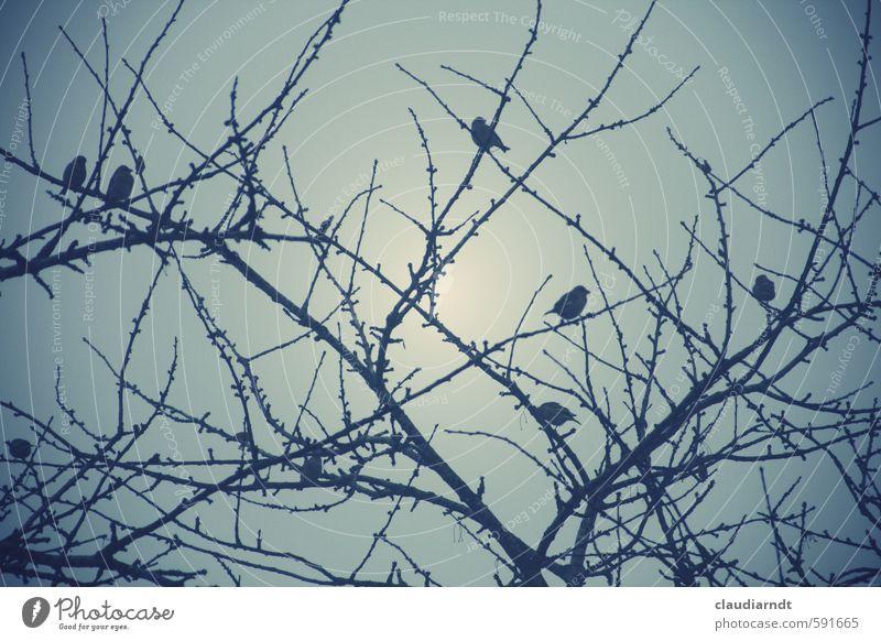 Vogelbaum Natur Pflanze Tier Himmel Winter Baum Garten Tiergruppe sitzen trüb Zweige u. Äste Kirschbaum Fink Spatz Silhouette Farbfoto Gedeckte Farben