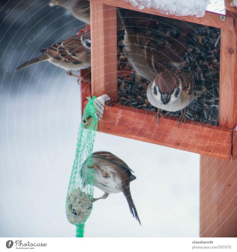 Spatzenhaus Natur Tier Winter Umwelt Schnee Vogel Eis Tiergruppe Frost Fressen füttern Tierliebe Futterhäuschen Vogelfutter Sonnenblumenkern