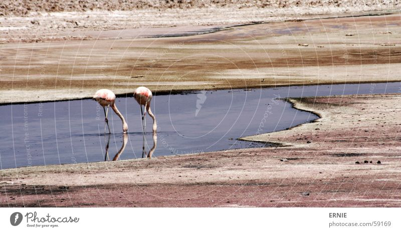 FlamingoBingo Chile Ferien & Urlaub & Reisen Salar de Atacama Tier rosa Wasser Sand Wüste