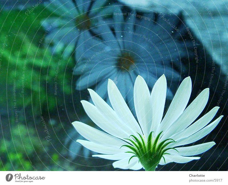 Spieglein, Spieglein Blume Fenster Fototechnik