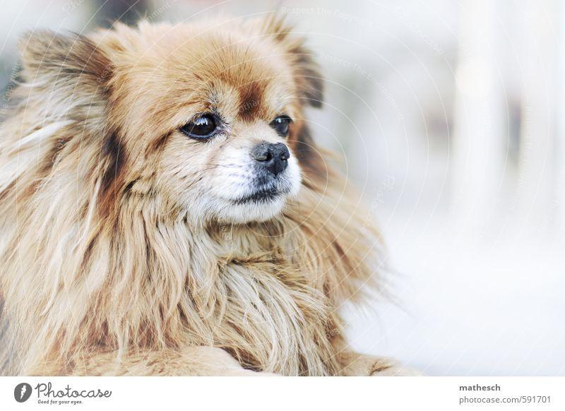 pekinese Tier Hund 1 klein niedlich braun weiß Farbfoto Außenaufnahme Menschenleer Textfreiraum rechts Hintergrund neutral Tag Schwache Tiefenschärfe